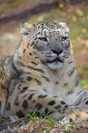 Close up portrait of male snow leopard (or ounce, Panthera uncia) resting on the ground among green grass and looking at camera, low angle view