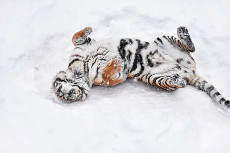 One young female Amur (Siberian) tiger playing and rolling in fresh white snow sunny winter day, full length high angle view