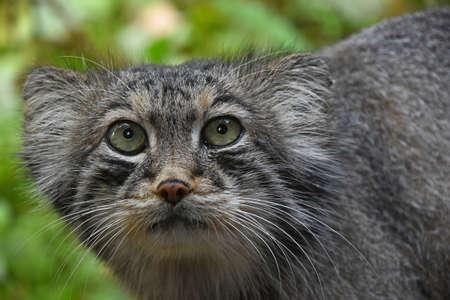 Close Up retrato de un lindo Manul (el gato de Pallas o Otocolobus manul) mirando a la cámara, vista de ángulo bajo