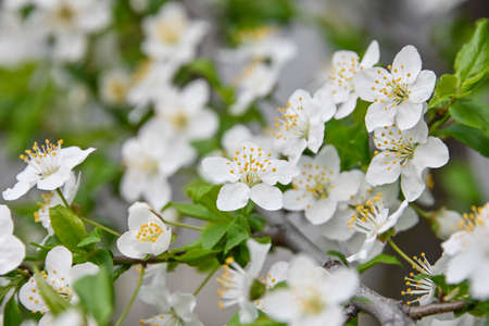 Close up white cherry tree blossom, low angle view Imagens