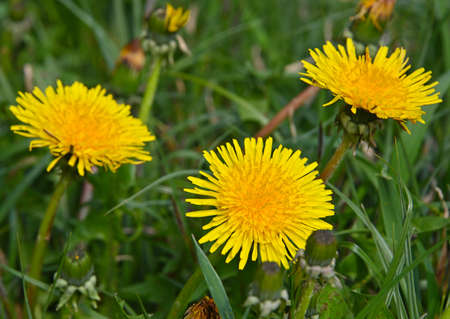 Close up yellow dandelion flowers in green grass, high angle view