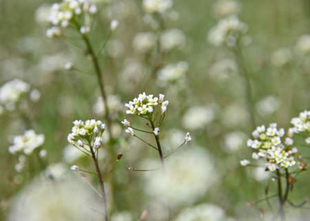 Close up white Capsella flowers over green grass background, high angle view, selective focus Imagens