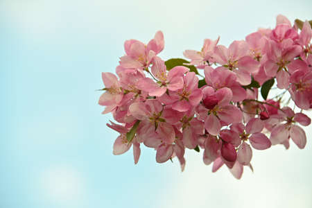Close up pink Asian wild crabapple tree blossom with leaves over blue sky background with copy space, low angle view Imagens