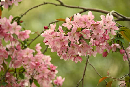 Close up pink Asian wild crabapple tree blossom with leaves over green background with copy space, low angle view