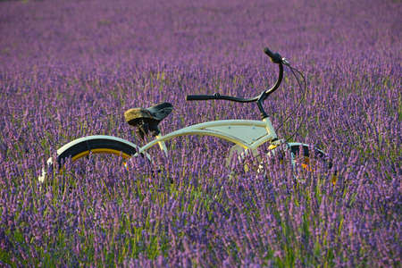 One retro styled vintage bicycle in backlit blooming purple lavender field at sunset, Provence, France, low angle side view