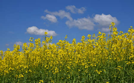 Close up field of green oil seed rape colza flowers under cloudy blue sky, high angle view Imagens