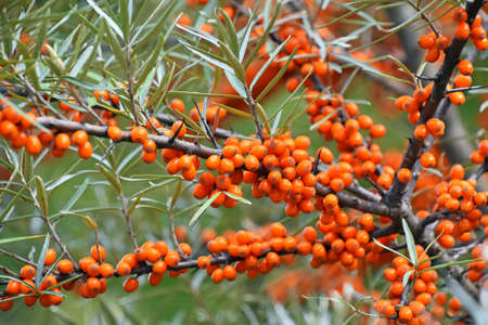 Close up branch of ripe vivid orange autumn Hippophae (sea buckthorn) with green leaves and thorns Imagens
