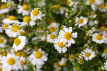 Close up background of fresh white chamomile daisy flowers in garden, elevated top view, directly above, selective focus