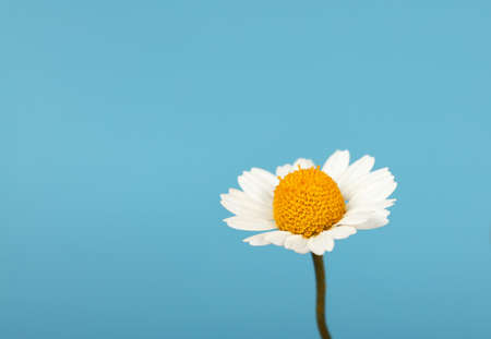 Close up one flowerhead of fresh white chamomile daisy flower over blue background, high angle side view Imagens