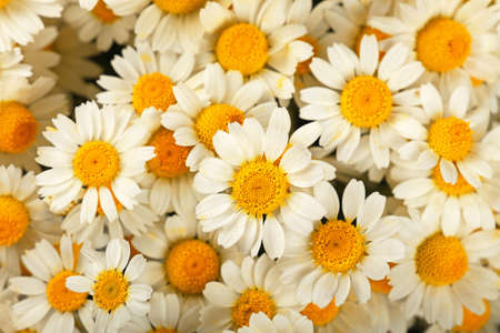 Close up background of fresh white chamomile daisy flowers, elevated top view, directly above