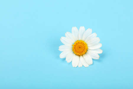 Close up one flowerhead of fresh white chamomile daisy flower over blue background, elevated top view, directly above Imagens