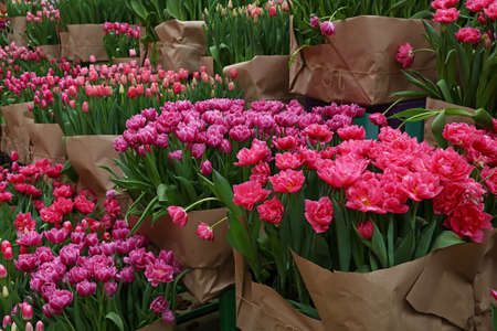 Close up tulip flowers wrapped with brown kraft paper for sale in greenhouse, high angle view Imagens