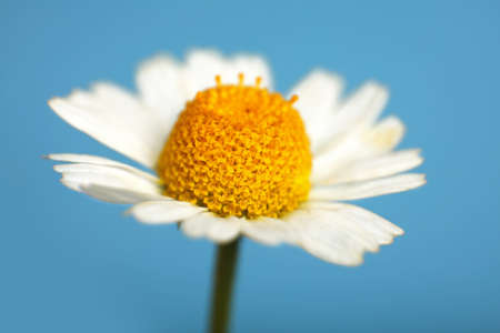 Close up one flowerhead of fresh white chamomile daisy flower over blue background, high angle side view Stok Fotoğraf