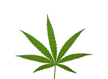 Close up one fresh green cannabis or hemp leaf isolated on white background