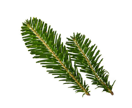 Close up fresh green branch of spruce or pine tree isolated on white background
