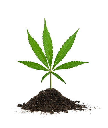 Close up one fresh green cannabis or hemp leaf growing out of soil heap isolated on white background, low angle side view Stok Fotoğraf
