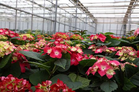 Close up fresh red, purple and pink potted hydrangea or hortensia flowers in greenhouse, high angle view