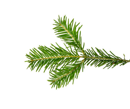 Close up fresh green branch of spruce or pine tree isolated on white background Archivio Fotografico