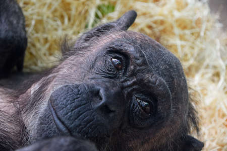 Close up portrait of young chimpanzee female resting and looking away from camera Standard-Bild