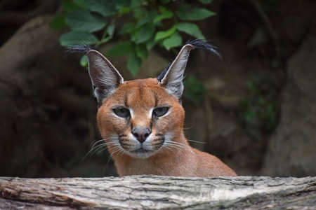 Close up front portrait of young female caracal looking at camera, high angle view Standard-Bild