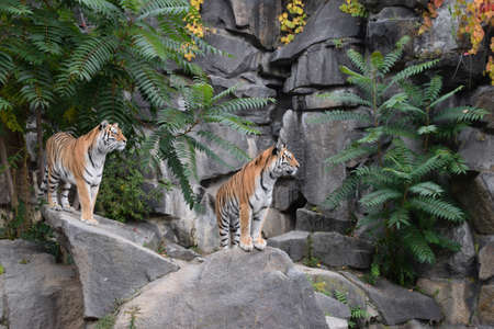Close up front portrait of two young female Amur (Siberian) tigers standing on rocks and looking away alerted, low angle view