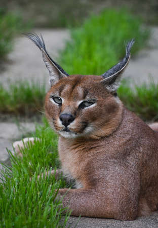 Close up front portrait of caracal resting on ground and looking at camera, high angle view Standard-Bild