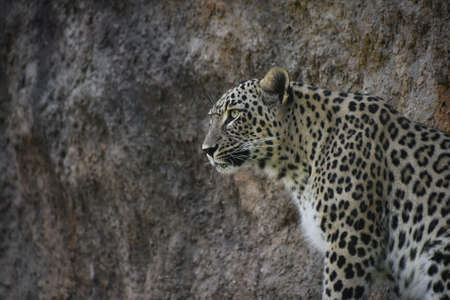 Close up profile portrait of female African leopard resting alerted on rock shelf, low angle, side view Stockfoto