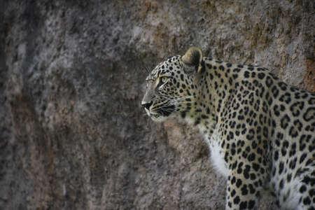 Close up profile portrait of female African leopard resting alerted on rock shelf, low angle, side view Standard-Bild
