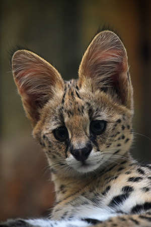 Close up portrait of baby serval kitten looking at camera, low angle, front view