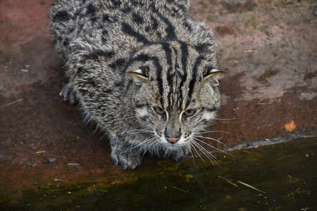 Portrait of fishing cat (Prionailurus viverrinus) sitting on the ground near water and looking away, high angle view Standard-Bild