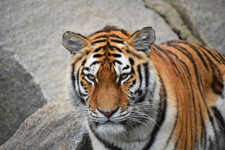 Close up portrait of one young Siberian tiger (Amur tiger, Panthera tigris altaica) looking up at camera, low angle view