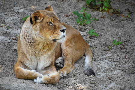 Full length portrait of one lioness resting on ground, high angle front view Standard-Bild