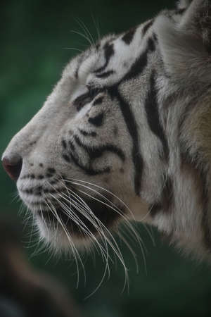 Close up profile portrait of one white tiger looking at camera, low angle, side view