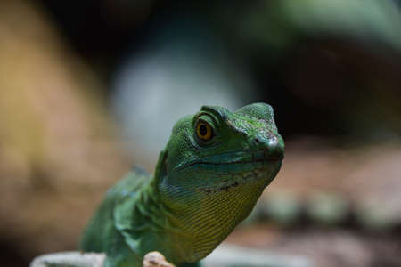 Close up profile portrait of vivid green lizard, high angle, front view Standard-Bild