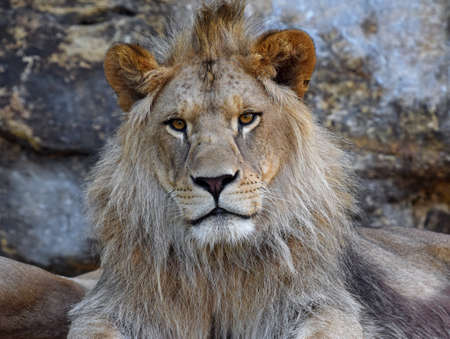 Close up front portrait of young cute male African lion with beautiful mane, looking at camera, low angle view Standard-Bild