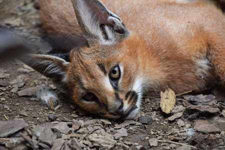 Close up portrait of one cute baby caracal kitten resting on the ground and looking at camera, high angle view
