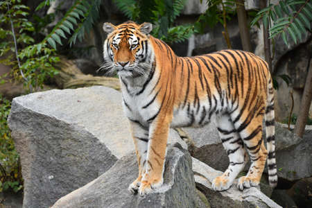 Close up full length portrait of one young Siberian tiger (Amur tiger, Panthera tigris altaica) standing on the rock and looking at camera, low angle, side view