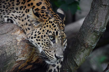 Close up profile portrait of African leopard resting on tree and looking at camea, low angle, side view Standard-Bild