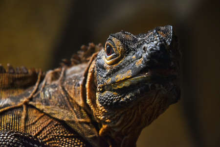 Close up half profile portrait of black iguana looking at camera, low angle view Standard-Bild