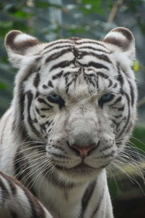 Close up front portrait of one white tiger looking at camera, low angle view Standard-Bild