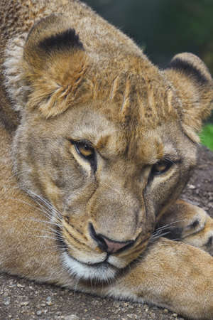 Close up portrait of beautiful mature female African lioness looking at camera, high angle view