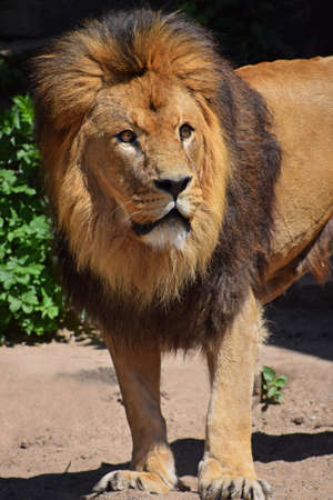 Close up portrait of cute male African lion with beautiful mane, alerted and looking up at camera, high angle view Standard-Bild