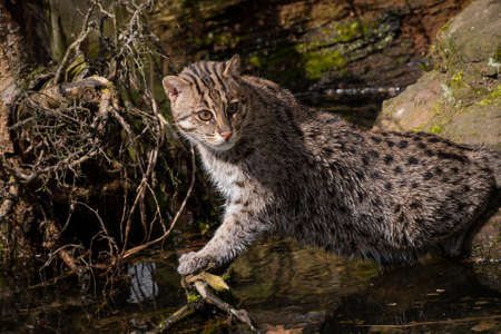 Profile portrait of fishing cat (Prionailurus viverrinus) hunting and watching fish in water, high angle, side view