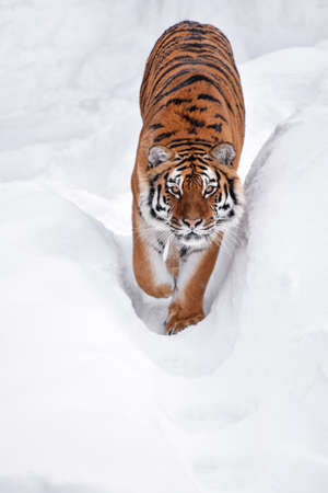 Close up portrait of one young Amur (Siberian) tiger in fresh white snow sunny winter day, looking up at camera, high angle view