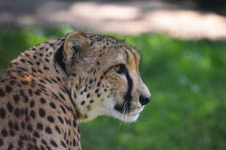 Close up profile portrait of cheetah (Acinonyx jubatus) looking away over green background, low angle, side view Standard-Bild
