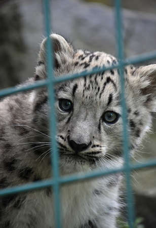 Close up front portrait of young snow leopard cub looking at camera out of zoo enclosure lattice bars