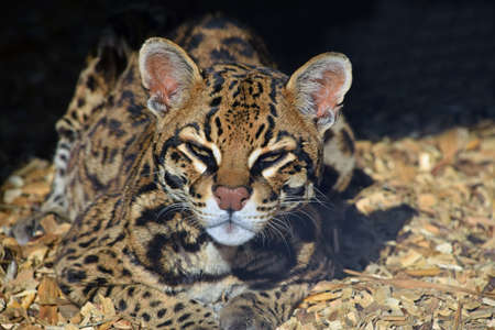 Close up portrait of margay (Leopardus wiedii) small wild cat looking at camera in zoo enclosure, high angle view