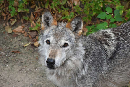 Close up portrait of young grey wolf pup looking at camera, high angle view Standard-Bild