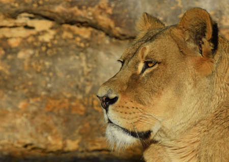 Close up profile portrait of female African lioness looking away at sunset, low angle, side view Standard-Bild
