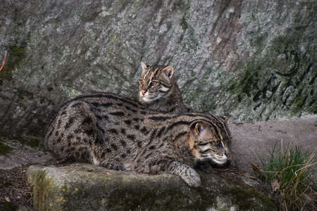 Close up profile portrait of fishing cat (Prionailurus viverrinus) couple resting together, high angle, side view
